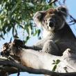 """野生のコアラってそんなにいるの? オーストラリアで""""野生のコアラウォッチング"""" いたのはコアラだけじゃなかった"""