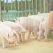 豚は犬やチンパンジーより賢い