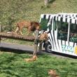 多摩動物公園「ライオンバス」最終日を見届ける
