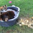 15年間兄弟のように過ごしてきたトラとクマとライオン、その一頭に別れの時が訪れる