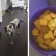 パブロフの犬を見た! ビスケット缶のフタを開けると必ず寄ってくる犬