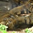 旭山動物園でアムールトラの赤ちゃん2頭を初公開中!