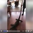 【動画】オーストラリアのレストランでは巨大トカゲの排除もウェイトレスの仕事? ワイルドだぜぇ~!