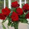 「ベルサイユのばら」という名のバラ発売、記念イベントも