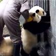 【激萌】絶対にわざとだろ!パンダVS飼育員の無限ループ動画がまた話題に!