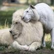 【幻想的】驚きの白さ!アルビノの動物たちがあまりに美しすぎると話題に!