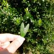 幸運を運ぶオリーブ探し体験!香川県「小豆島オリーブ公園」でハートのオリーブの葉を探そう