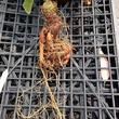 実在していた伝説の植物「マンドラゴラ」どう育てるのか担当者に聞いてみた