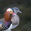 「おしどり夫婦」の語源となった鳥類でも不倫が日常茶飯事!?