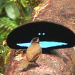 この世で最も黒い鳥の秘密が判明する! 99.95%の光を吸収し極度に黒を保つ 羽根に凄い秘密が