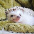 【まるっと小動物展】かわいいハリネズミ・ハムスターたちに癒やされる! 初の名古屋巡回