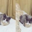 じーっと見てくる子猫を撮影した結果→突然ウトウトする姿がめっちゃ可愛い