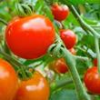 冬でもトマトが1トンとれる! ごみ処理の排熱を利用した三次市のハウスに注目