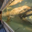 メガマウスザメの生態解明前進、胸鰭に見られる多数の特殊な構造発見。