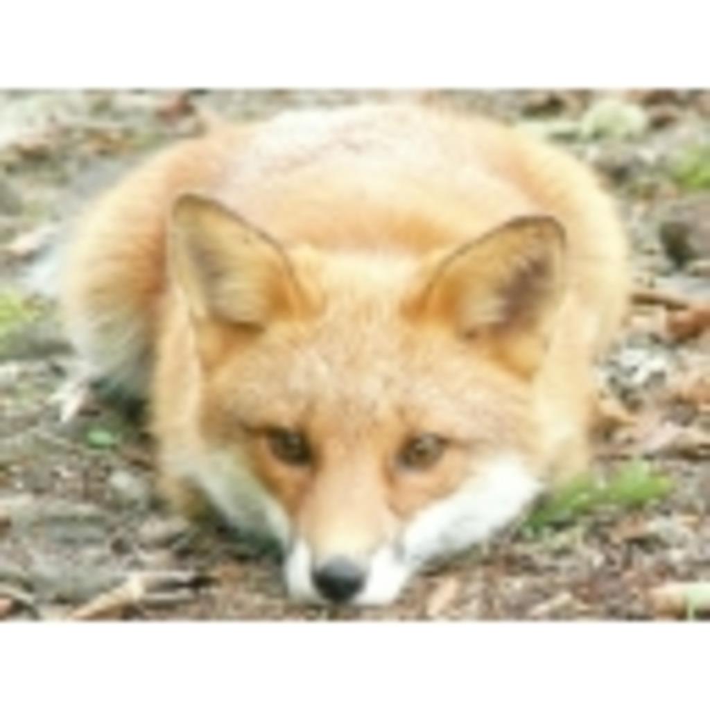 狐と狼と犬