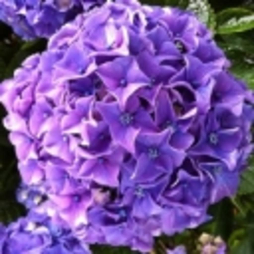 紫陽花と雨が好き