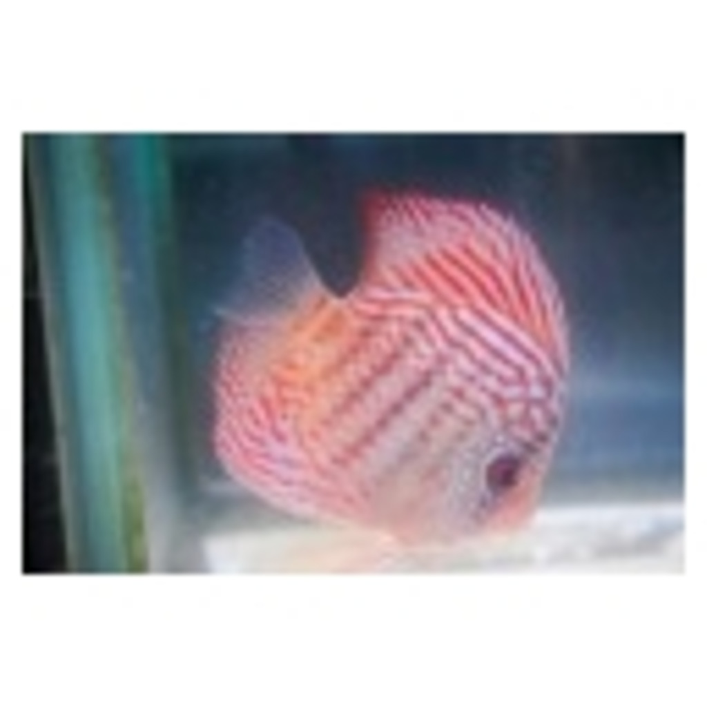 gdgd 熱帯魚放送