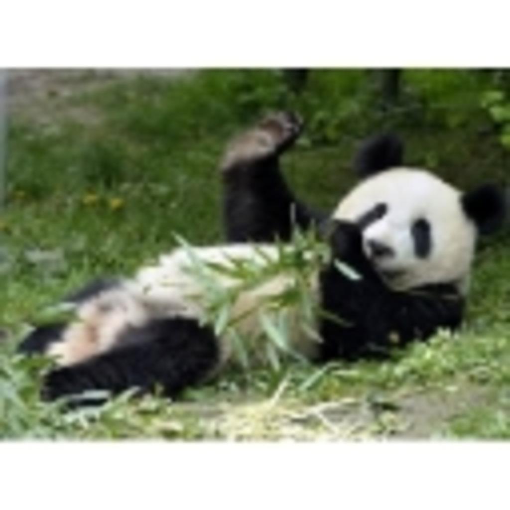 大熊猫と狐