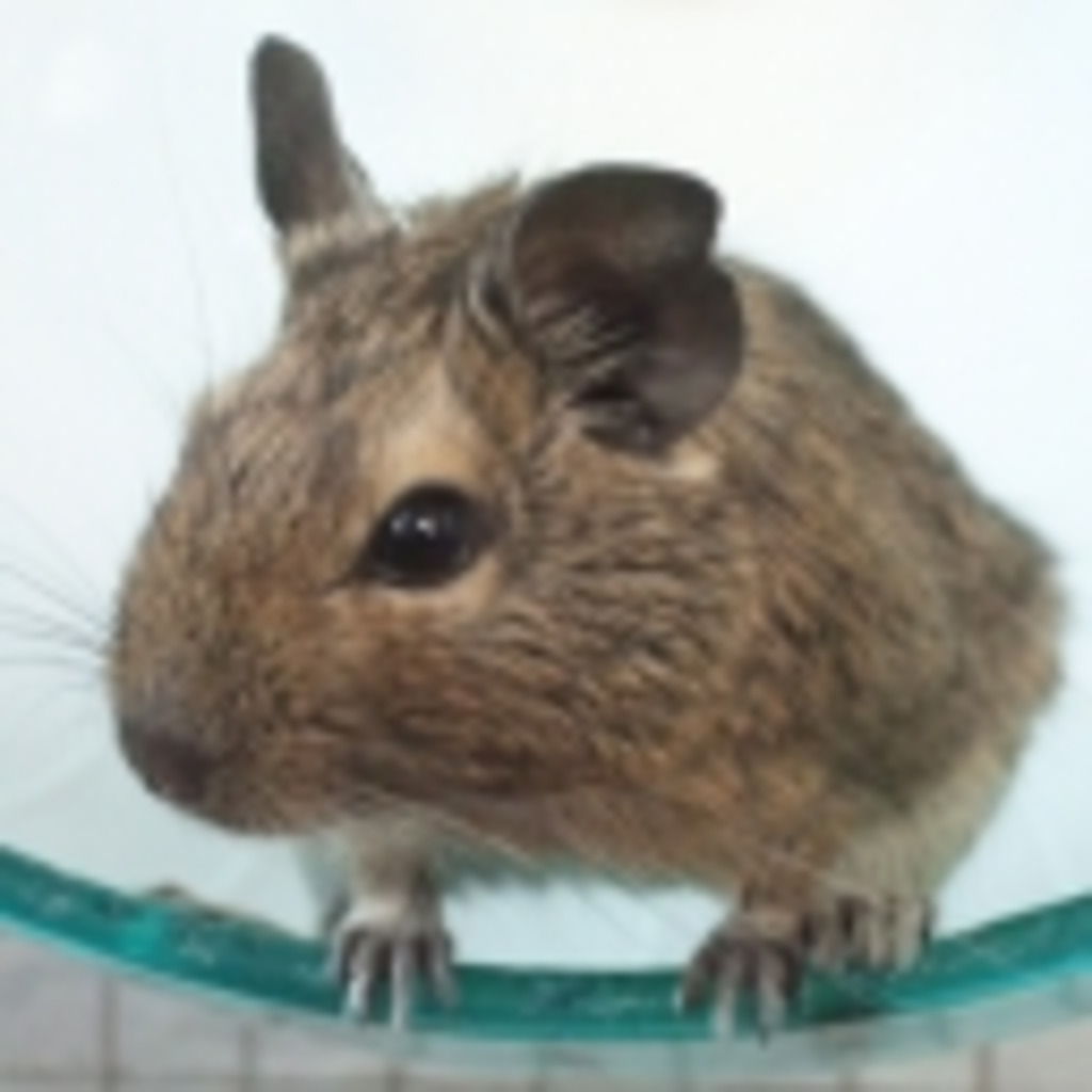 アンデスの歌うネズミ:デグー