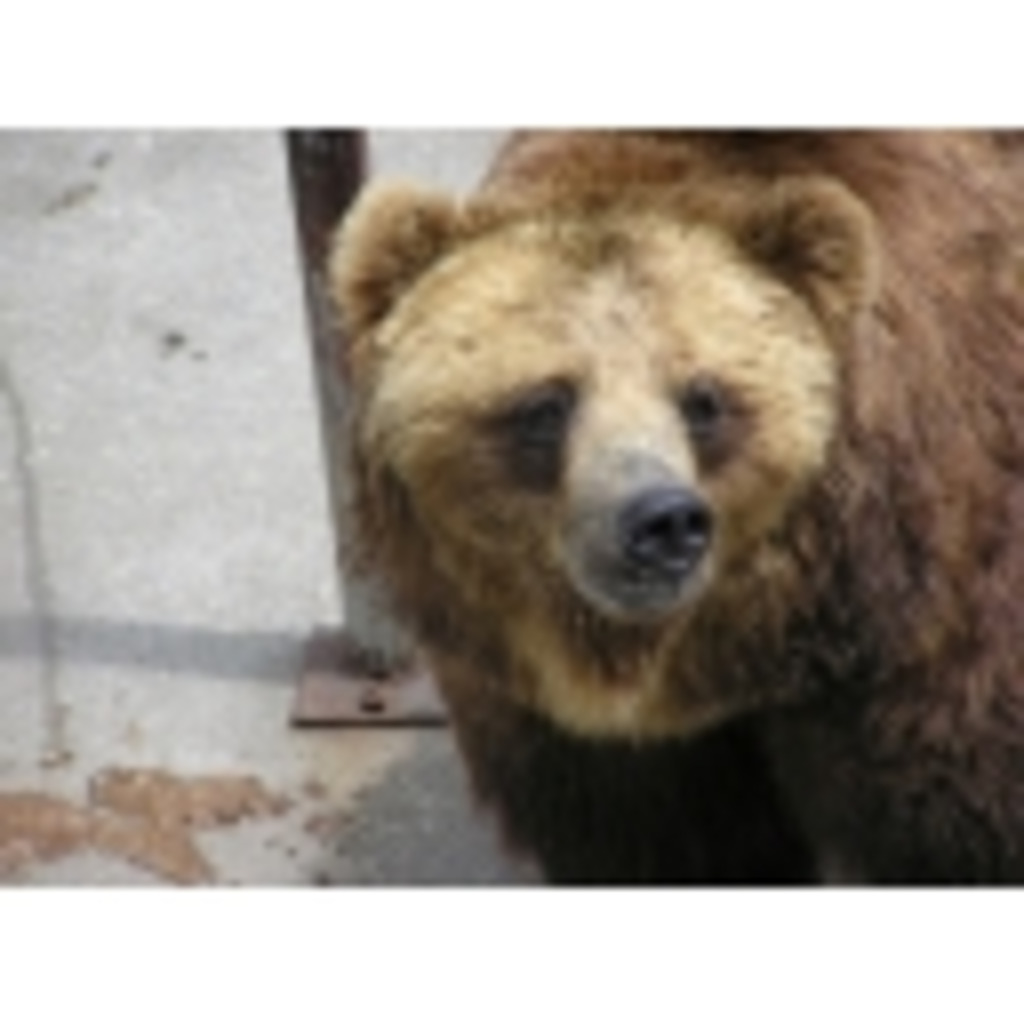 くまの、熊による、クマのためのコミュ