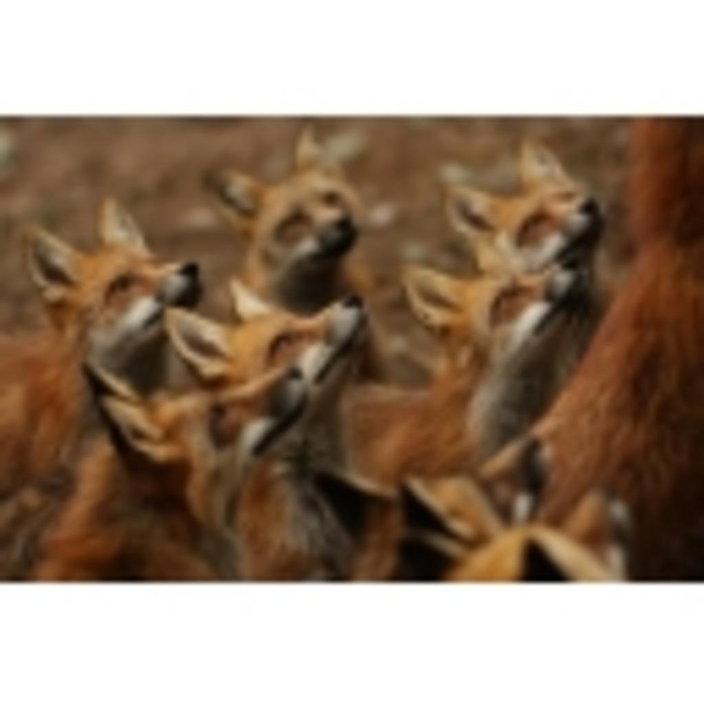 狐のコミュニティ