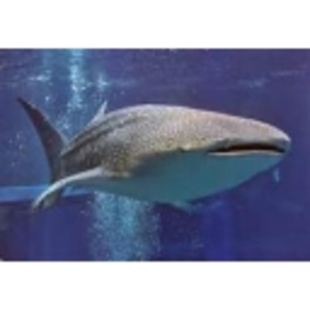 ジンベイザメ(・○・<<< のgdgd