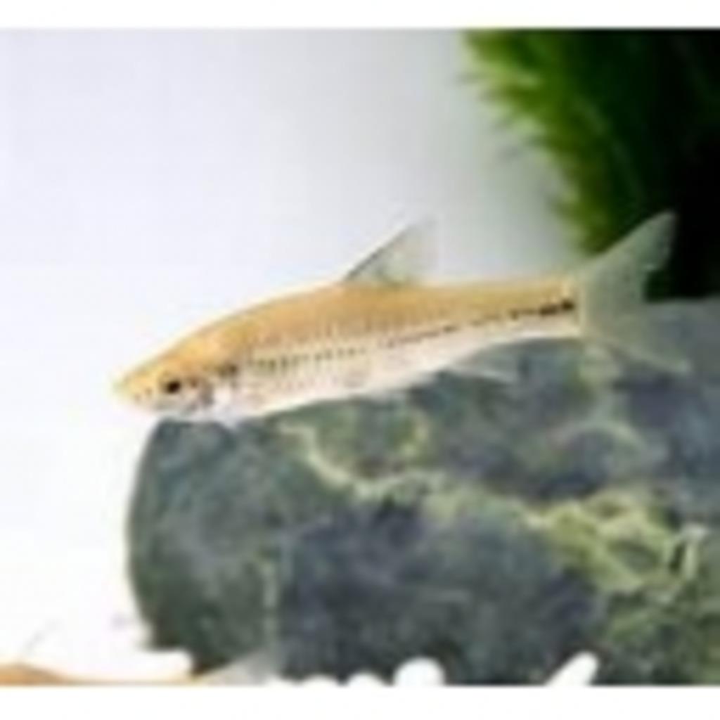 日本淡水魚好きあつまれ!