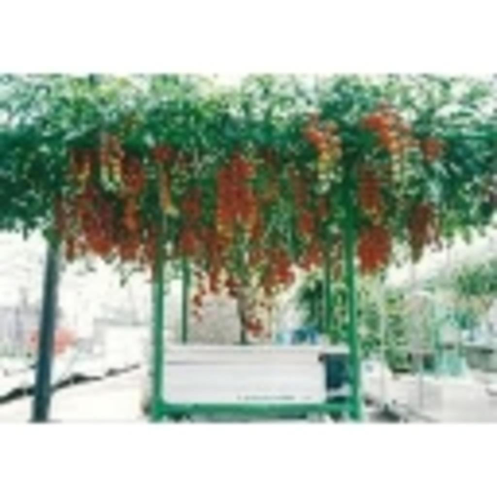 ステロイドPのトマト栽培所