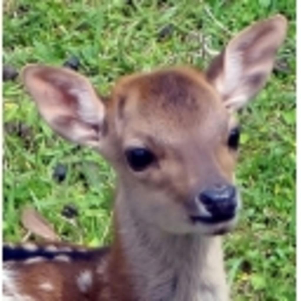 鹿さんに鹿せんべいを。
