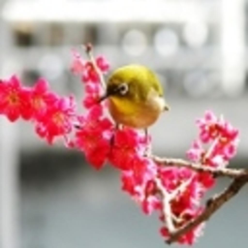 紅梅色濃く、小鳥囀る。(ウメテンテー)