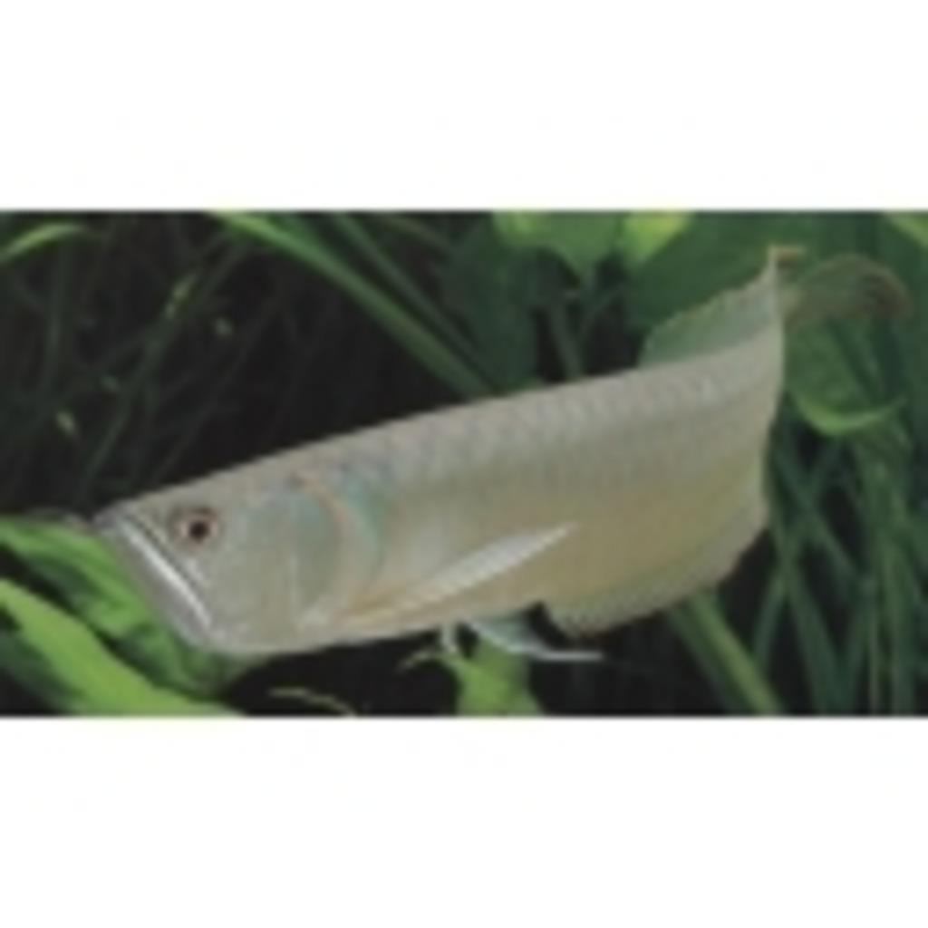 古代魚・熱帯魚コミュ二ティ