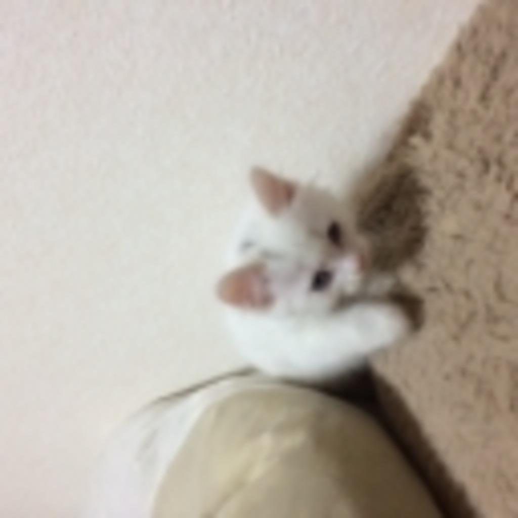 白猫との戯れ放送(仮)