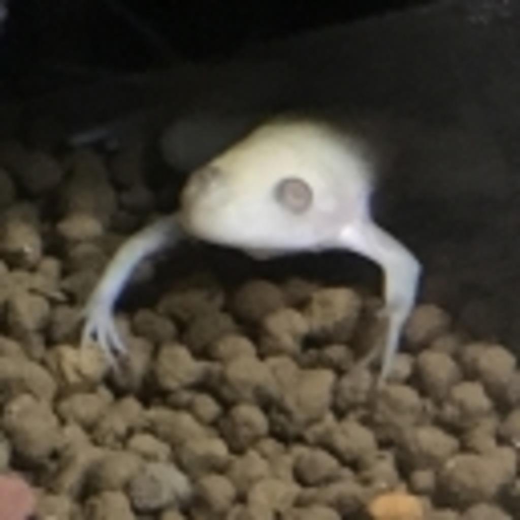 アフリカツメガエルの水槽