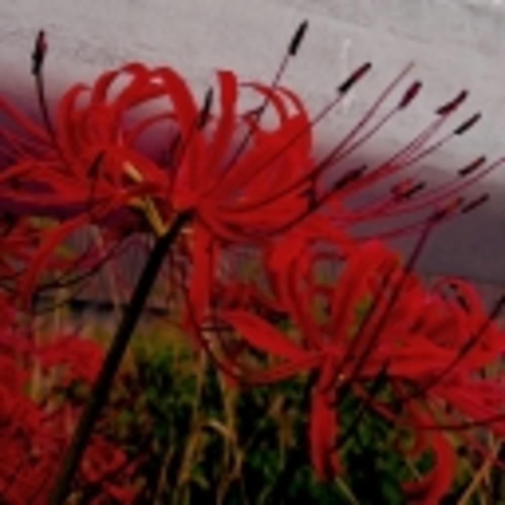 彼岸花の咲く庭