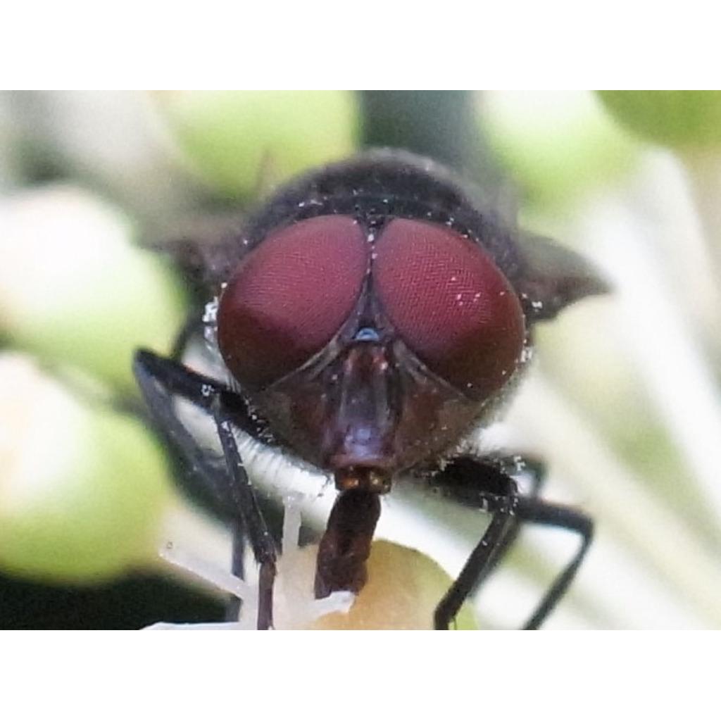 Diptera's community