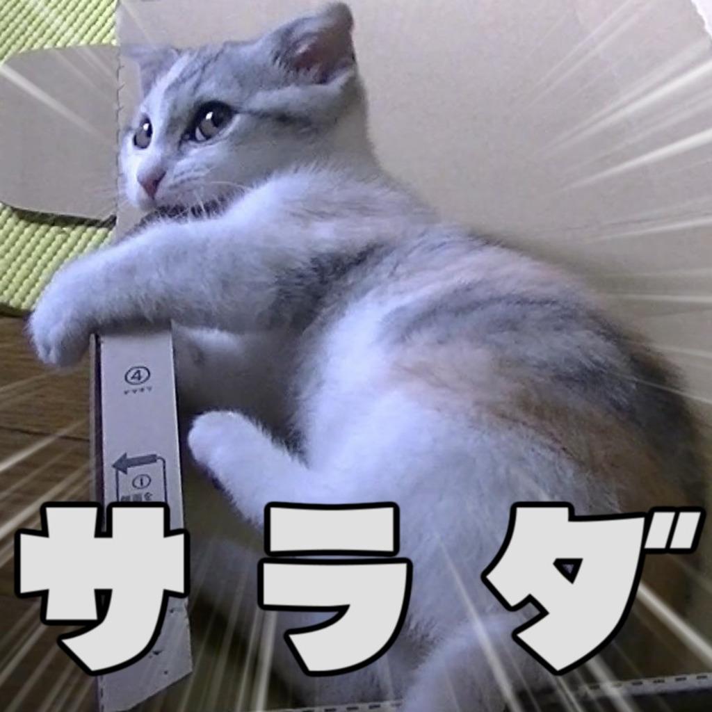 ★短足マンチカン幼女ネコ★ 【サラダ】 放送
