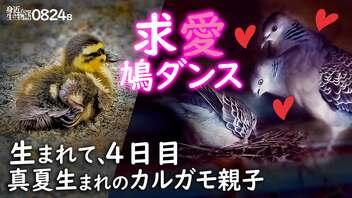 0824B【カルガモ親子の帰還】卵の上で求愛ダンス鳩の巣、キジバト。カワセミ。カラスの鳴き声。トンボの喧嘩と紅白コヒガンバナ。エンジェルウイング奇形。 #身近な生き物語 #カルガモ親子 #キジバト