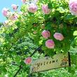 1500株のバラが華の競演!「滝ノ入ローズガーデン 春のバラまつり」開催