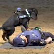 小さな体で人間に心肺蘇生法を試みる警察犬が話題に