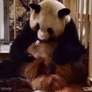 パンダの赤ちゃん誕生、和歌山
