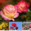 バラ本来の美しさが際立つ!色濃く、香りが豊かな秋バラを堪能「秋のローズフェスタ」開催(小田原市小田原フラワーガーデン)