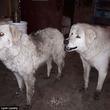 20日もの長い間、山火事から90匹の羊たちを守りぬき無事生還した2匹の牧羊犬(カナダ)