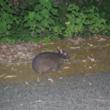 わずか1kmの分断がアマミノクロウサギの遺伝的交流を断絶する 筑波大の研究