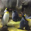 ペンギンのゲイカップルが実の両親から放置されていた赤ちゃんペンギンの面倒を見る