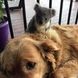 いつのまにかなつかれてた。犬の背中に野生のコアラがひっついていた件(オーストラリア)