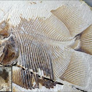 ジュラ紀の海にピラニアに似た魚