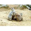 いしかわ動物園:プレーリードッグの六つ子、愛称募集中