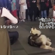 「ワイは~歌うたいやから~♪」バイオリンの音色に合わせて歌う一流ストリートミュージシャンとしてのマラミュート犬