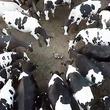 """ドローンで牛追い中に""""タヌキ""""が侵入→わらわらと牧場の牛たちが群がる映像が大迫力"""