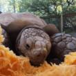 動物園もHappy Halloween!ケヅメリクガメに大きなカボチャを与えてみたら…?